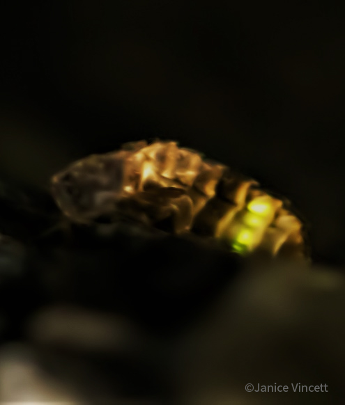 Glow Worm female