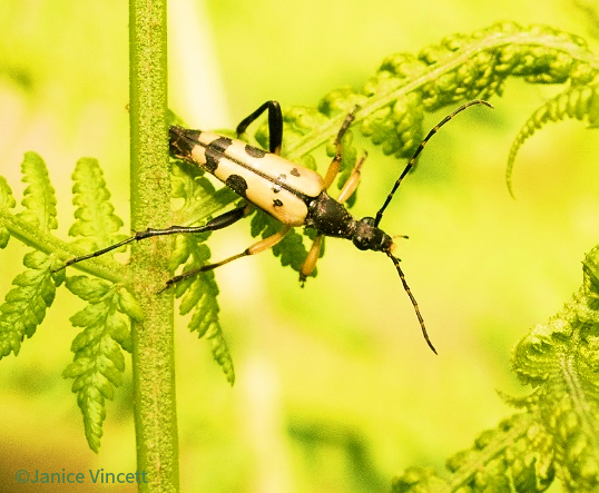 Long horned Beetle species