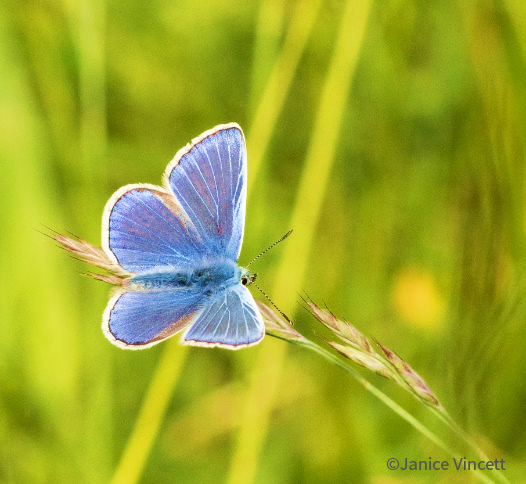 Male Common Blue Butterfly