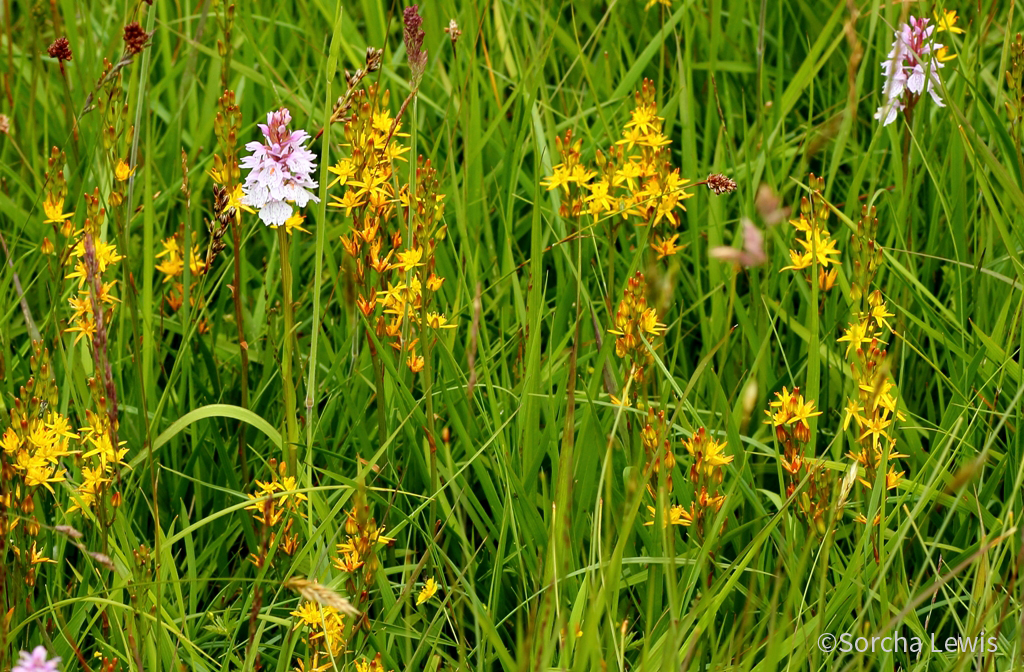 Orchids and Bog Asphodel.