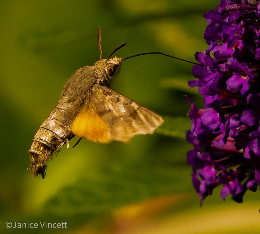 The migratory Hummingbird Hawkmoth