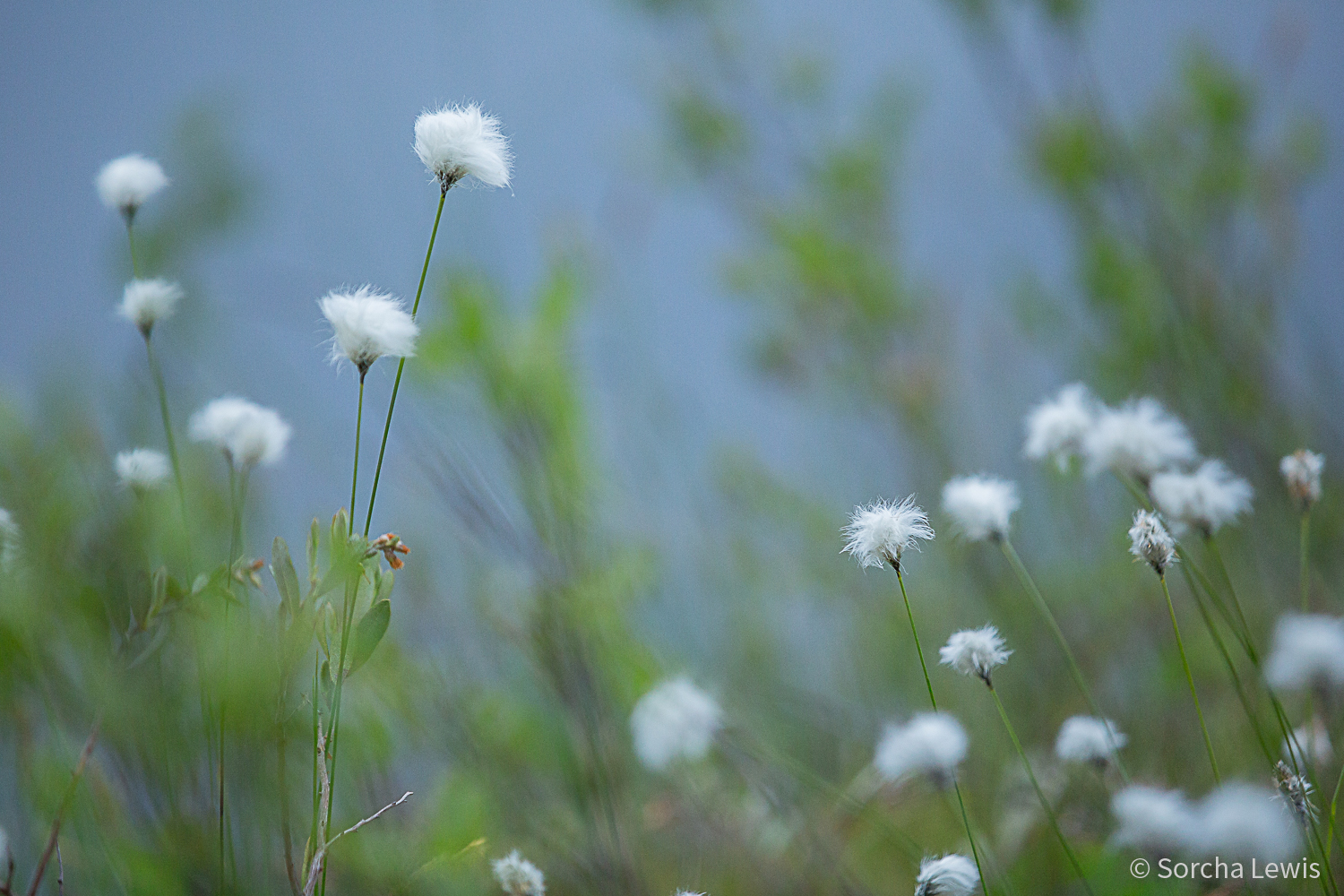 Cotton Grass.