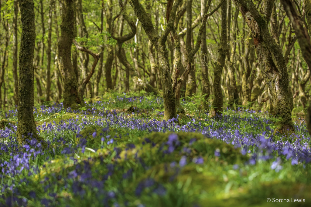 Bluebell wood. Click to see larger image.