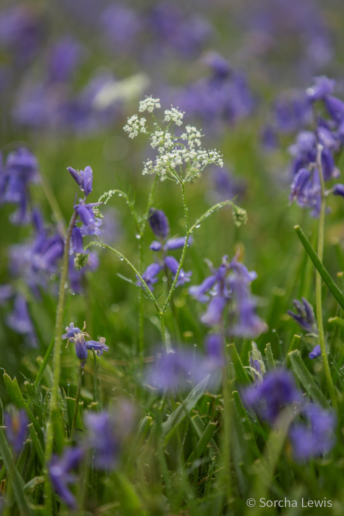 Bluebells and pignut