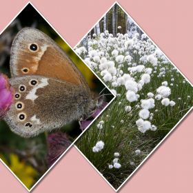 picture of butterfly and cottongrass