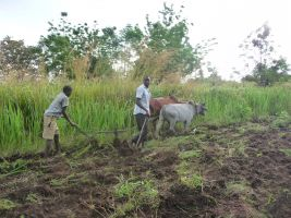 Ploughing with oxen in Ojolai Village
