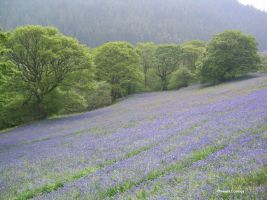 Bluebells at Rhos y Hafod Mike Hayes