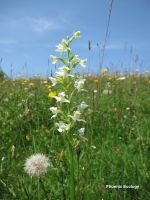 Greater Butterfly Orchid Mike Hayes